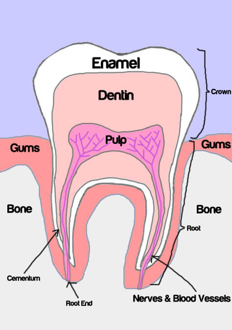 pulp and nerves of tooth